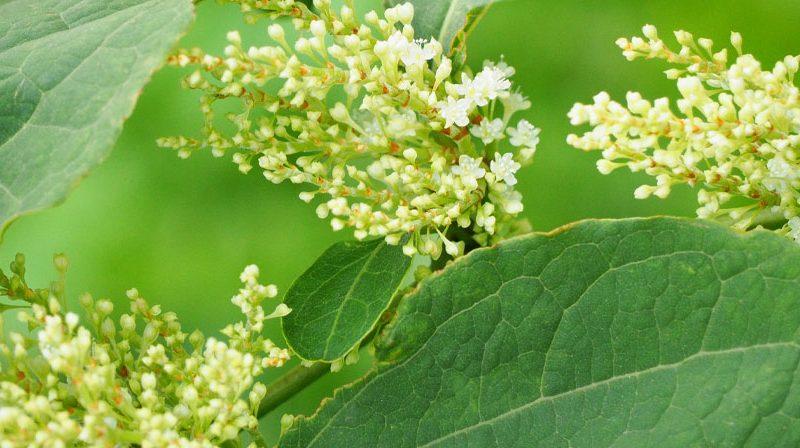 polidatina-forma-glicosilata-resveratrolo-antiossidante